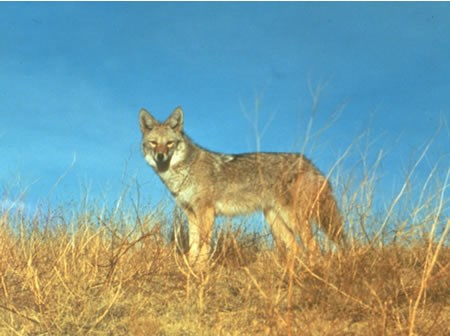 a photo of a coyote in summer