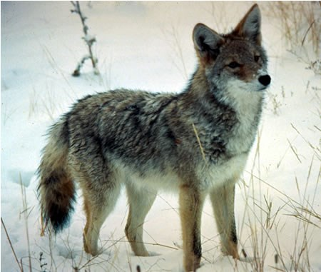a photo of a coyote in winter