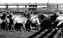 Elk that were reintroduced to the park in 1913-1914