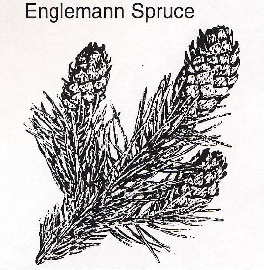 a drawing of an Englemann spruce branch and cones