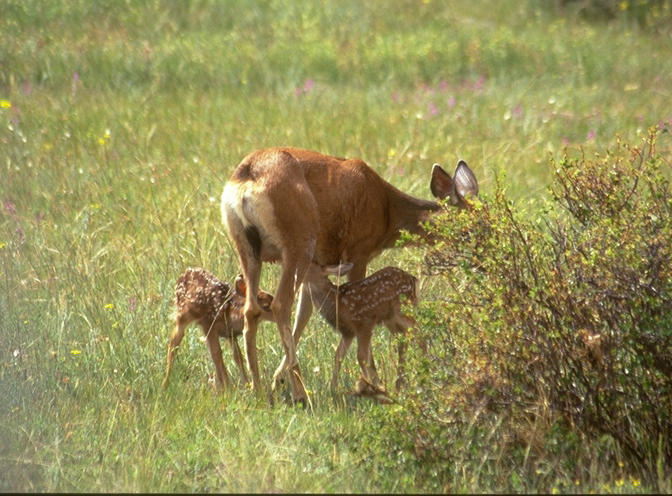 a photo of mule deer fawns nursing