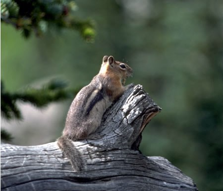a photo of a golden mantled ground squirrel