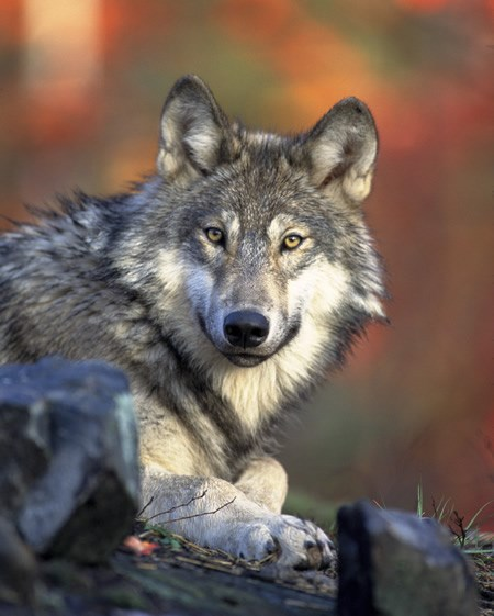 a photo of a gray wolf