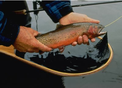 a photo of a greenback cutthroat trout