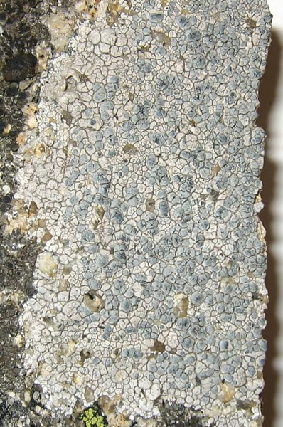 a photo of Lecanora rupicola