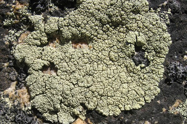 a photo of Lecanora thomsonii