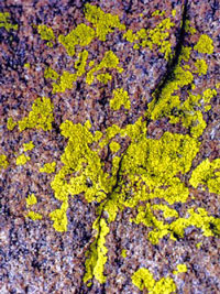 Photo of lichen Pleopsidium on rock surface