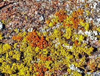 Photo of lichen Caloplaca Candelariella growing on the edge of a rock.