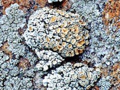 Photo of Lichen Rhizoplaca chrysoleuca growing on the surface of a rock.