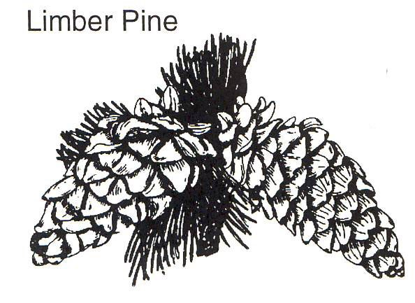 a drawing of a limber pine branch and cones