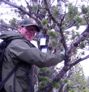 Photo park staff affix verbenone packets to help protect limber pine trees from mountain pine beetles