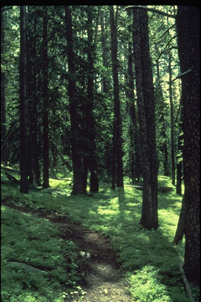 a photo of  a lodgepole pine forest