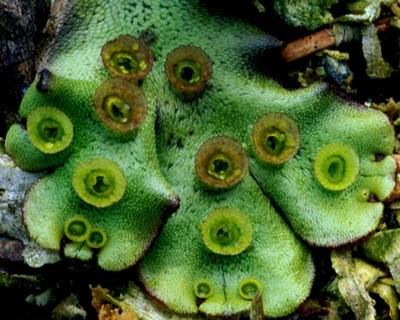 a photo of Marchantia polymorpha with asexual reproductive structures (gemmae).