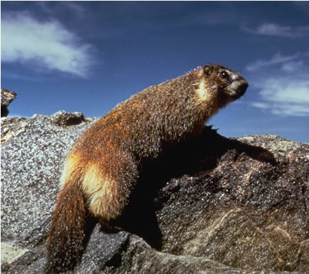 a photo of a yellow-bellied marmot