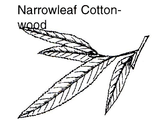 a drawing of a narrowleaf cottonwood branch