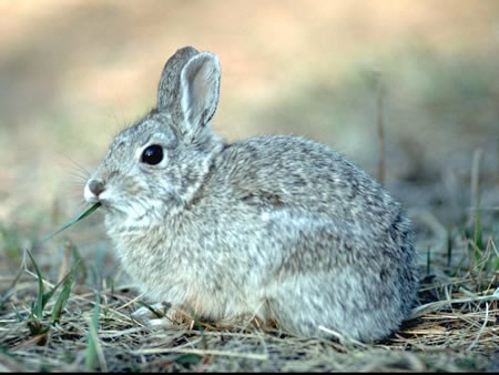 a photo of a Nuttall's cottontail