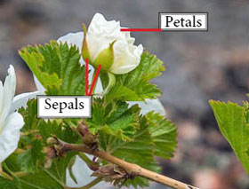 Photo of petals and sepals of a Wild raspberry