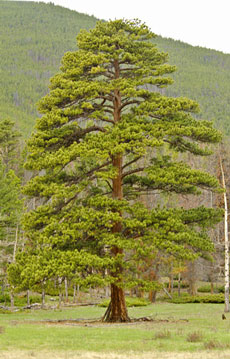 Age of mature pine trees