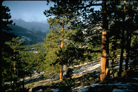 a photo of a ponderosa forest