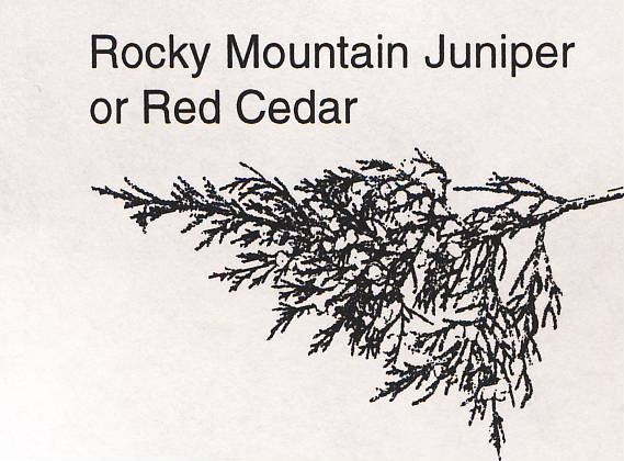 a drawing of a rocky mountain juniper branch