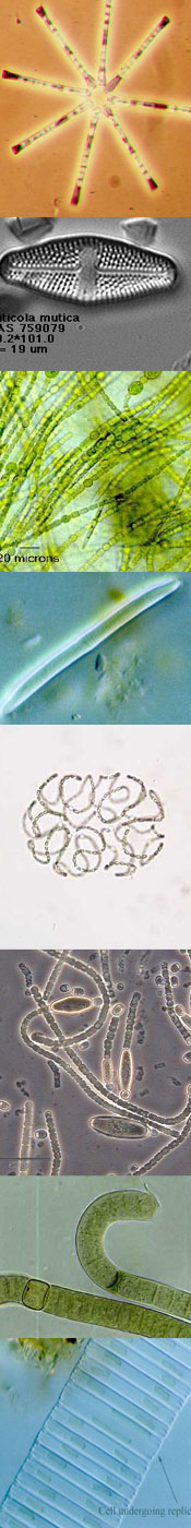 Photo of diatoms and algae