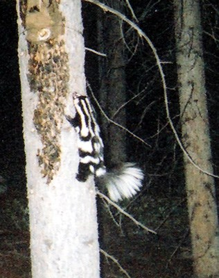 a photo of a western spotted skunk