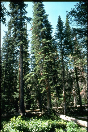 a photo of an Englemann spruce forest