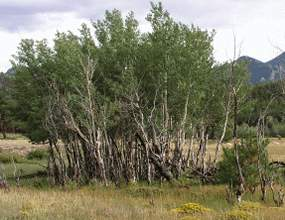 Photo stunted aspen trees
