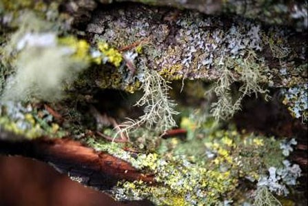 Photo of lichen Usnea laponica growing on the surface of a branch.