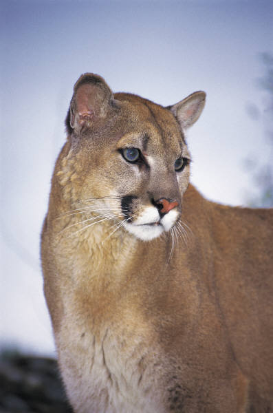 a photo of a mountain lion
