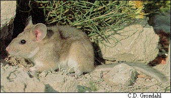 a photo of a bushy-tailed woodrat