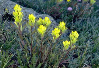 Photo of Western Yellow Paintbrush
