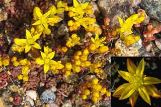 Photo of Yellow Stonecrop