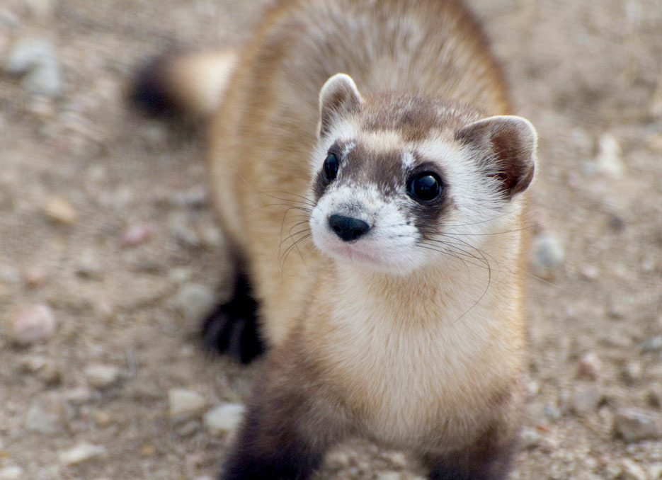 Black-footed Ferret  Courtesy Colorado Parks and Wildlife