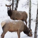 elk search for food under the snow