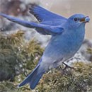 Mountain bluebird flying with juniper berry in beak