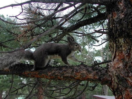 Photo Aberts Squirrel in a tree at Rocky Mountain National Park