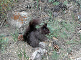 Photo Aberts Squirrel on ground eating at Rocky Mountain National Park.