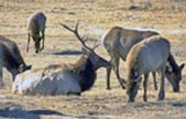 Photo bull elk with harem during rut.