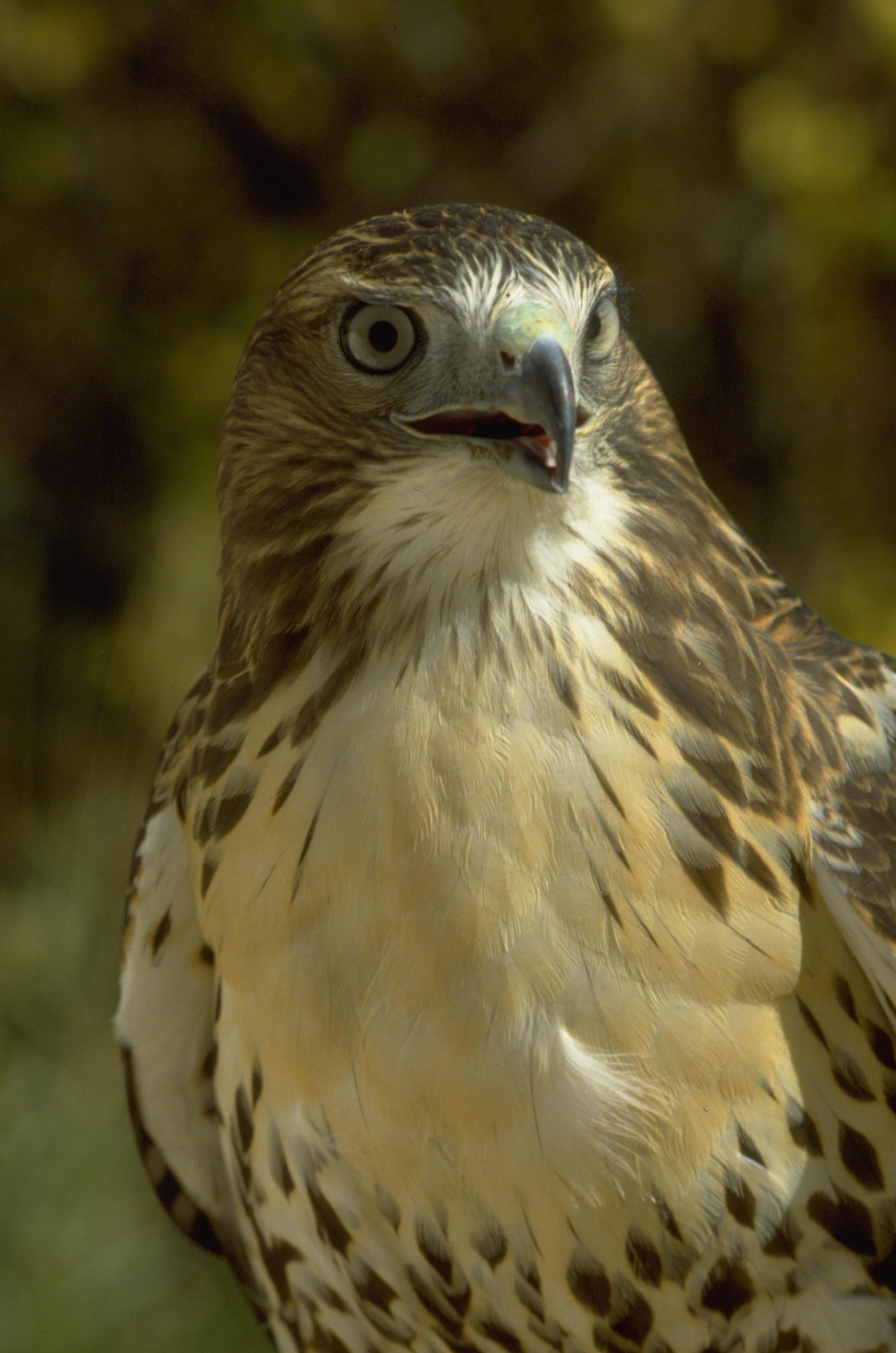 Temporary Closures For 2016 To Protect Nesting Raptors In
