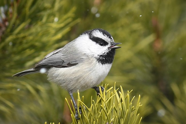 Mountain Chickadee calls from a ponderosa pine tree as snow lightly falls.