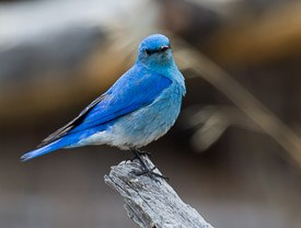 Photo of Blue Bird.