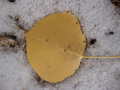 Aspen leaf on top of newly fallen snow, showing the fast transition from fall to winter.