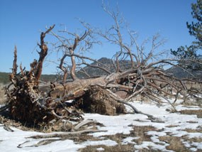 Large Poderosa Pines that have fallen over.