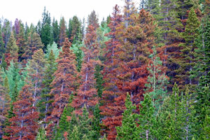 Trees damaged by mountain pine beetle