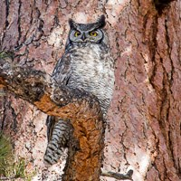 Photo of Great Horned Owl perched in a tree.