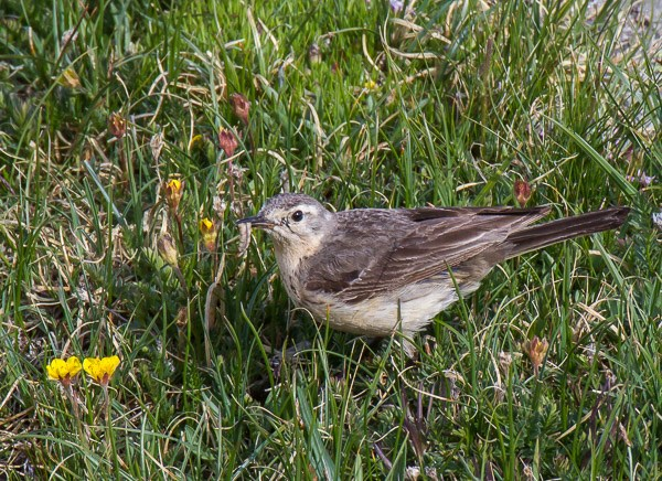 American Pipit forages in the tundra at the Rock Cut along Trail Ridge Road