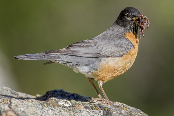 American Robin with worms
