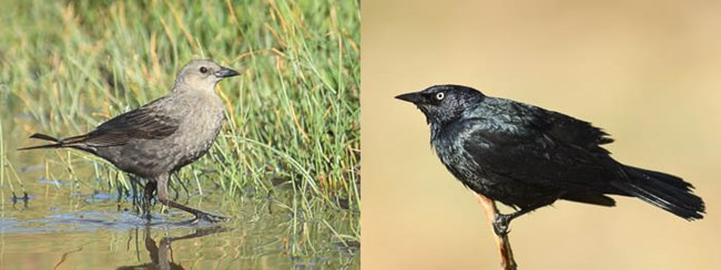 Left: female Brewer's Blackbird in a puddle of water. Right: male Brewer's Blackbird on a twig.