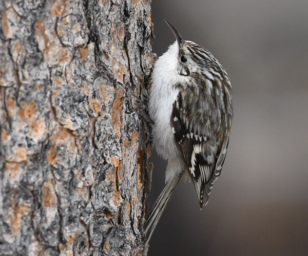 Brown Creeper on the trunk of a Ponderosa Pine tree.